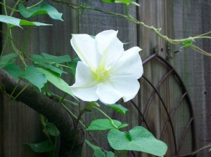 My long awaited moonflower