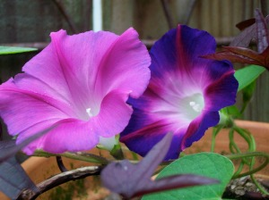 My Morning Glories from seed